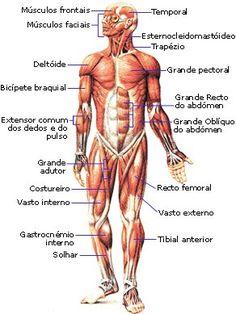 Human Body Anatomy, Human Anatomy And Physiology, Muscle Anatomy, Muscular System Anatomy, Human Muscular System, Anatomy Study, Anatomy Reference, Greys Anatomy, Surgical Nursing