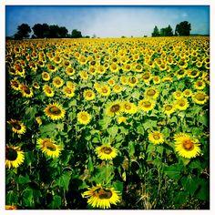 Sunflower field, Tuscany