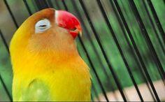 Sebelum membahas racikan pakan lovebird konslet, sebaiknya Anda mengetahui terlebih dahulu cara awal yang bisa Anda coba agar lovebird bisa menjadi konslet.