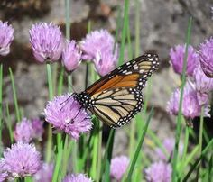 Grow these 5 plants in your garden and help save monarch butterflies.