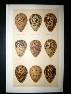 Seebohm 1896 Antique Bird Egg Print. Plovers | Albion Prints