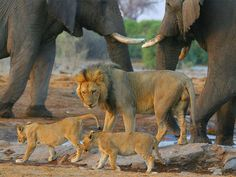 This male lion ensures his offspring have safe passage through a herd of elephant in Namibia.