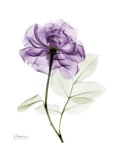 Violet Flower Tattoos, Name Flower Tattoo, Flower Tattoo Designs, Watercolor Flowers, Watercolor Paintings, Lotus Flower Art, Transparent Flowers, Purple Roses, Arte Floral