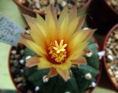 Astrophytum asterias nudum http://www.facebook.com/pages/Le-Jardin-de-Monsieur-Semper/236141563196029