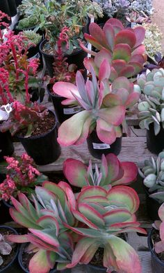 Native and / or drought tolerant California Plants Drought Resistant Landscaping, Drought Resistant Plants, Drought Tolerant Landscape, Succulents In Containers, Cacti And Succulents, Planting Succulents, Planting Flowers, Garden Shrubs, Garden Plants