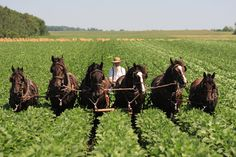 A group which began in Switzerland and migrated to the United States, the Amish still plow with horses and drive in black painted horse buggies. They also dress based on fashions from the time of the group's beginning. Amish Country Ohio, Amish Family, Amish Farm, Amish Culture, Amish Community, Horse And Buggy, Work Horses, Country Life, Country Kitchen