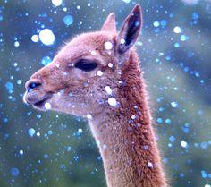 Vicuña by Jose_Belisario, via Flickr