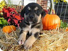 Millersville, MD - Hound (Unknown Type) Mix. Meet Lake, a puppy for adoption. http://www.adoptapet.com/pet/16946774-millersville-maryland-hound-unknown-type-mix