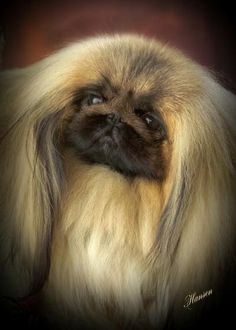 """Click visit site and Check out Best """"Pekingeses"""" T-shirts. This website is superb. Tip: You can search """"your name"""" or """"your favorite shirts"""" at search bar on the top. Yorkies, Pekingese Puppies, Dogs And Puppies, Fu Dog, Dog Cat, I Love Dogs, Cute Dogs, Animals And Pets, Cute Animals"""