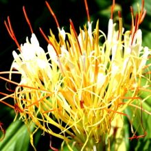 """Hedychium ellipticum  Item # 9756 Zone: 7b to 9b,at least Height: 48"""" tall Culture: Part Sun to Light Shade Origin: Himalayan Mountains"""