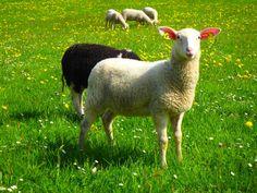 Sheep, Lamb, Goats, Animals, Nature, Animales, Animaux, Animal, Animais