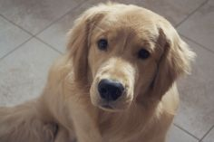 My dogs will be part of the family!!! I want a Golden Retriever!!!! <3