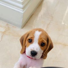 Cute Beagles, Cute Puppies, Dogs And Puppies, Pet Dogs, Dog Cat, Pets, Doggies, Dachshunds, Pet Ramp