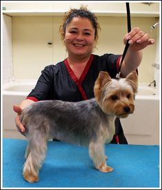 Best Yorkie Hair Cuts | ... You How to Trim a Light Coated Yorkie in a Hand Scissored Layer Trim