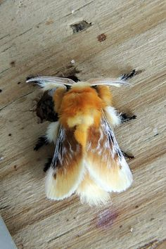 A Southern Flannel Moth in Worcester Co. Animals And Pets, Baby Animals, Funny Animals, Cute Animals, Cute Creatures, Beautiful Creatures, Animals Beautiful, Cool Insects, Bugs And Insects