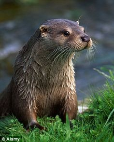 New threat: Otters are at risk again because river pollutants are harming their reproduction