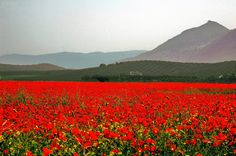 Poppies near Granada, Spain French Nursery, Nostalgia, Pack Your Bags, The Places Youll Go, My Dream, Poppies, Past, To Go, Mountains