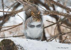 Grey Squirrel - Winter Setting