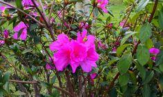 Azaléia - a flor que enfeita o inverno