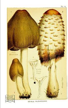 Botanical - Mushroom - Edible and Poisonous Mushrooms - Edible Shaggy Ivory Cap