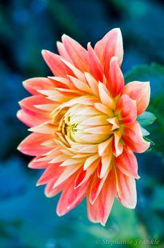 ~~Fall bloom, Denver Botanic Gardens, Colorado ~ Dahlia by Stephanie Frankle~~