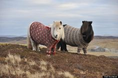 Huffpost: Super cute Shetland ponies. In sweaters, of course.