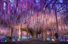 """Ashikaga Flower Park, Ashikaga, Tochigi, Japan ~ If you love flowers and happen to be in Japan, the Ashikaga Flower Park is a must see. One wisteria tree, called """"fuji"""" in Japan, is 100 years old."""