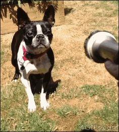 gifs engraçados de cachorros - Como eu me sinto quando chega a hora do happy hour