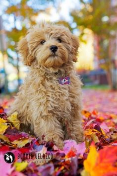 Goldendoodle among autumn leaves