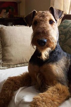 Handsome Airedale