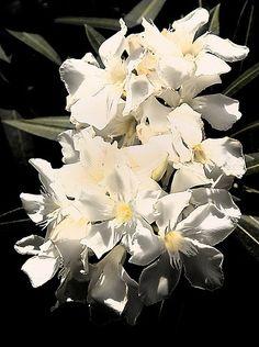 100 Best Oleander Images Flowers Gardening Oleander Plants