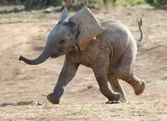 Baby elephant happy