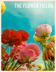 flower fields open today - Carlsbad CA