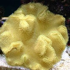Sarcophyton:  Toadstool Leather Coral Soft Corals, Saltwater Aquarium, Ocean Life, Under The Sea, Live, Leather, Saltwater Tank, Navy Life