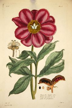 Paeonia flore symplici rubro - Antique Natural History - J. P. Buchoz (1775)