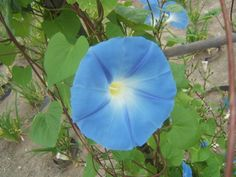 Morning Glory Vine and other garden vines / Sensible Gardening and Living