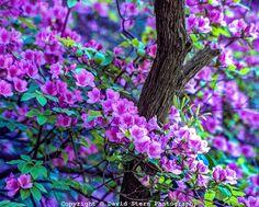 Rhododendrun | David Stern Photography