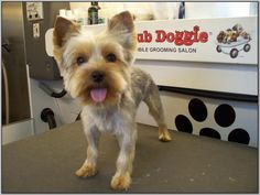 20 Best Yorkshire Terrier Trim Styles Images Dog Haircuts Yorkie