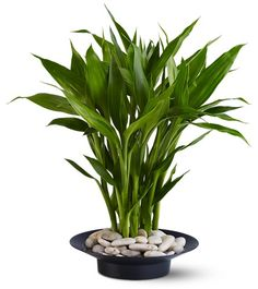 Lucky bamboo is one of the most popular feng shui cures. In traditional feng shui, the lucky bamboo is used to attract health, happiness, love and abundance. Feng Shui Symbols, Feng Shui Rules, Feng Shui Tips, Feng Shui Lucky Bamboo, Lucky Bamboo Plants, Feng Shui House, Feng Shui Bedroom, Indoor Garden, Indoor Plants