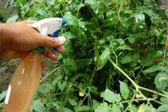 Faça um inseticida com cebola e alho