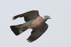 Pigeon ramier | Columba palumbus | Common Wood-Pigeon