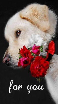 Good Night Sleep Tight, Morning Wish, Husky, Labrador Retriever, Beautiful Pictures, Cute Animals, Social, Funny Videos, Gifs