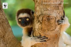 On the lookout for..? #sifaka #Madagascar