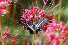 Spider-Lily and the butterfly [Papilio xuthus] 曼珠沙華とアゲハチョウ | Flickr - Photo Sharing!