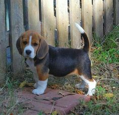 Are you interested in a Beagle? Well, the Beagle is one of the few popular dogs that will adapt much faster to any home. Puppies And Kitties, Cute Puppies, Cute Dogs, Doggies, Baby Beagle, Beagle Puppy, Cute Baby Animals, Animals And Pets, Nature Animals