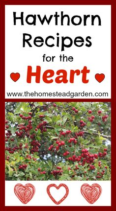 Learn some great hawthorn recipes for the heart. Hawthorn is a beautiful plant to grow and is loaded with wonderful medicinal benefits.