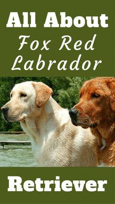 , Fox Red Labrador Retriever , The Fox Red Labrador had all but disappeared! But it's popularity rose in recent years. Read about it's history and the controversy surrounding the br. Fox Red Labrador Puppy, Labrador Breed, Labrador Facts, Yellow Lab Puppies, Black Labrador, Labrador Puppies, English Labrador, Corgi Puppies, Black Labs