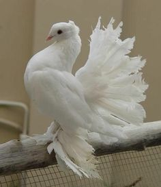 The Royal Pigeon Beautiful Gif, Beautiful Birds, Animals Beautiful, White Pigeon, Dove Pigeon, Exotic Birds, Exotic Pets, Fantail Pigeon, Drawing Body Proportions