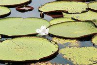 En los lagos de la Amazonia colombiana crece el loto más grande del mundo.