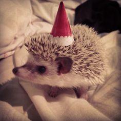 My pet hedgeog Zeus in a tiny elf hat (: